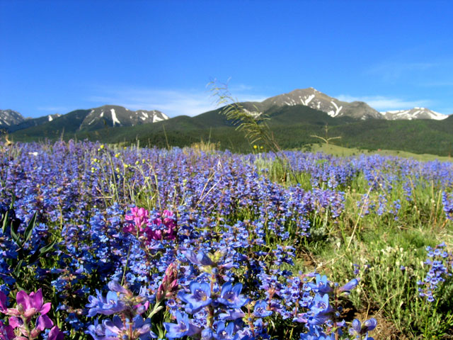 Lush Lupine in Westcliffe